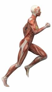 Female human anatomy and muscles 169x300 - Fysiotherapie Heerhugowaard